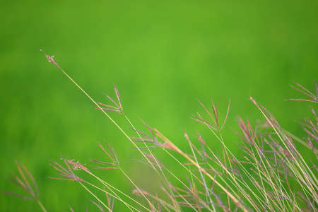 Feather Grass photo