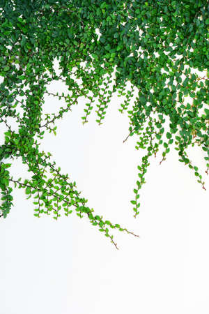 ivy wall: Ivy Background