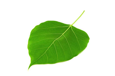 bodhi leaf isolated photo