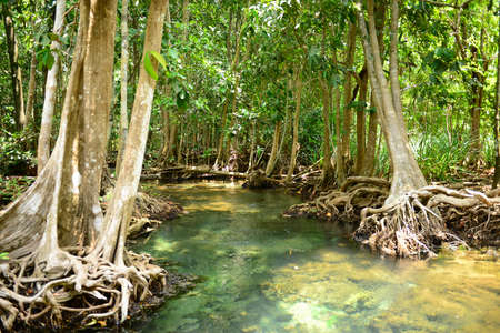Mangrove Forests in Krabi Thailand photo