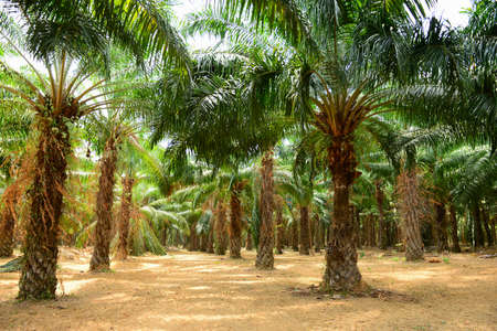Palm Oil Plantation photo