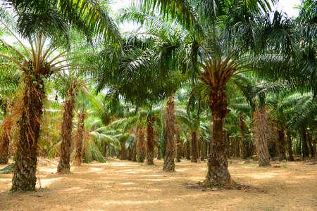 palm oil plantation: Palm Oil Plantation Stock Photo