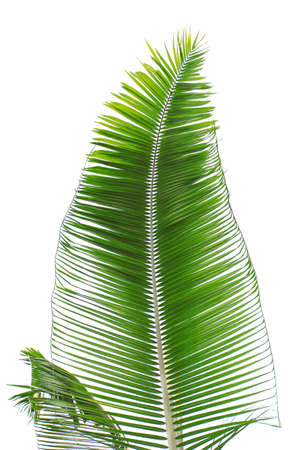Part of palm leaf on white background photo