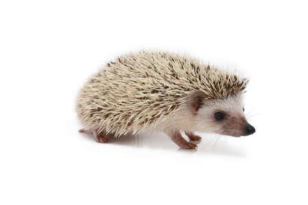 hedgehog isolated photo