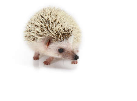 hedgehog isolated photo