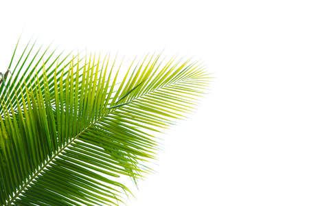 palm tree isolated: Palm Leaf