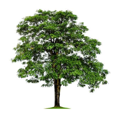 solitary tree: Dita bark tree isolated on white Stock Photo