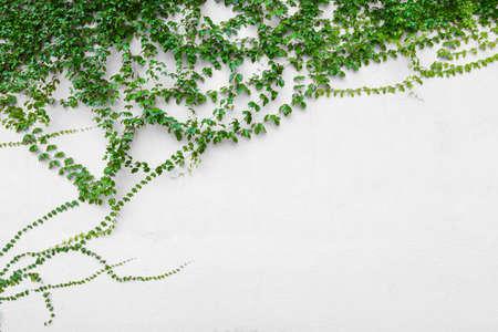 ivy vine: ivy vine on wall