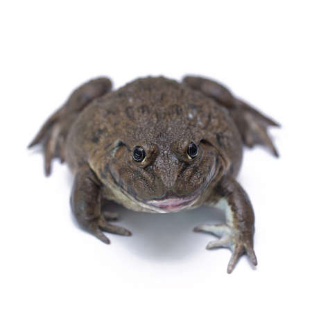 ugliness: brown frog isolated on white