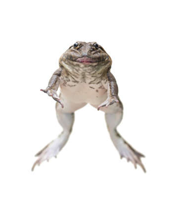 frog jump: jumping brown frog isolated on white Stock Photo