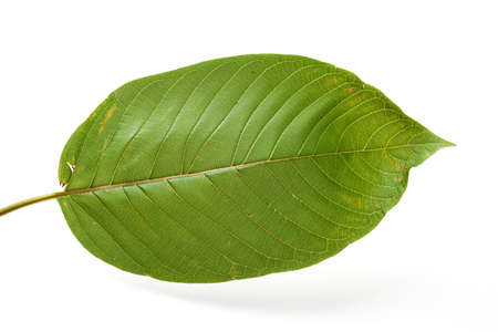 depressant: mitragyna speciosa, kratom leaf Stock Photo