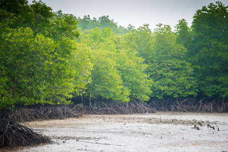 mangroves: mangroves in Phuket Thailand