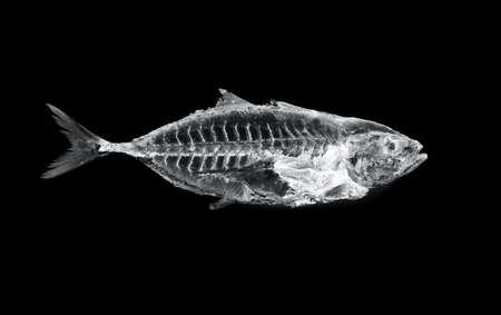 魚の x 線