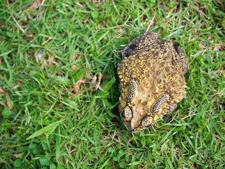 ugliness: top view of green toad on the grass field Stock Photo