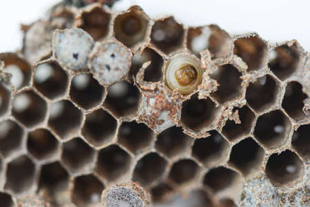 larvae: wasp nest with Insect larvae