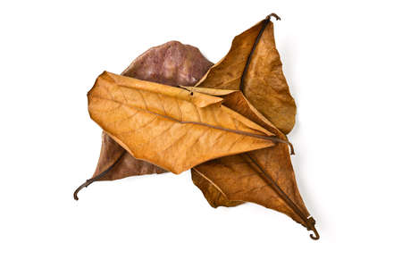 dry leaf: dry terminalia catappa leaf on white background Stock Photo