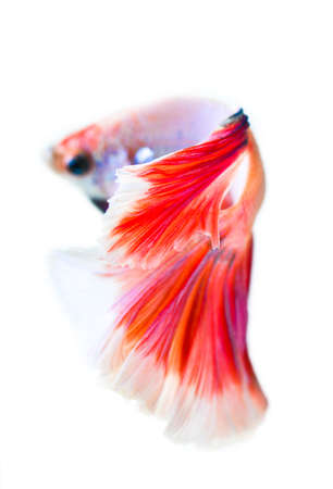 moon fish: betta fish half moon