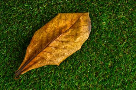 dry leaf: dry terminalia catappa leaf on grass field