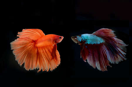 siamese: siamese fighting fish confronting