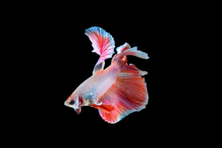 moon fish: betta, fighting fish half moon