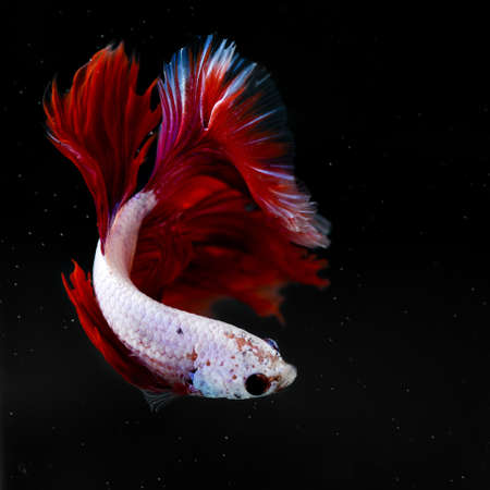 siamese: siamese fighting fish Stock Photo