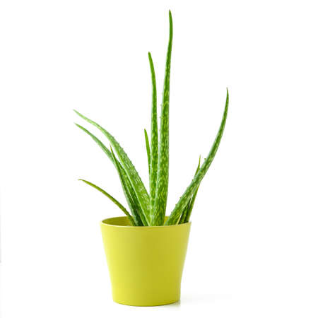 potted plant cactus: aloe vera in a pot