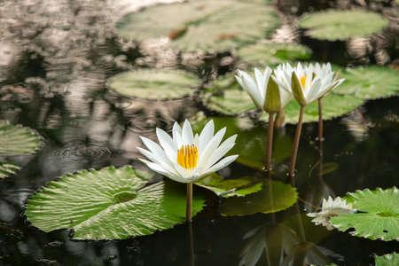 white lily: lirio blanco en el estanque Foto de archivo