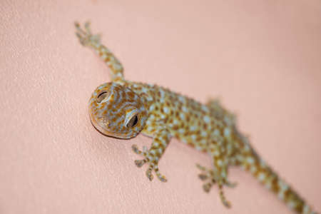 clambering: gecko on the wall Stock Photo