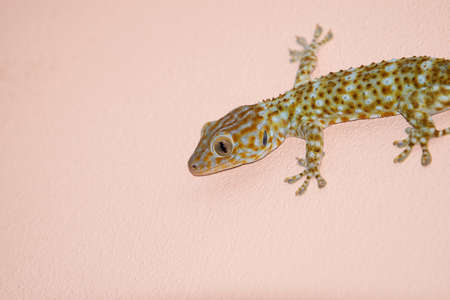 coldblooded: gecko on the wall Stock Photo