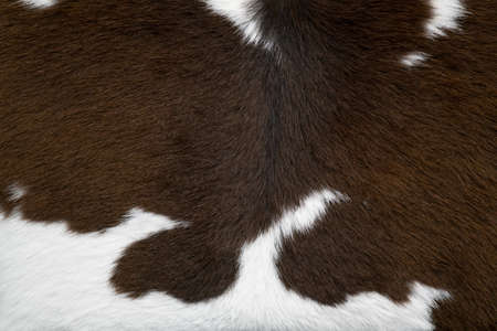 cow skin: brown and white cow skin texture