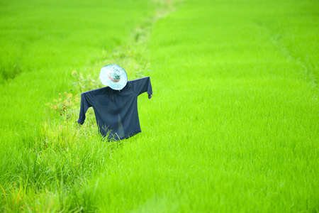 framer: scarecrow in a rice field Stock Photo