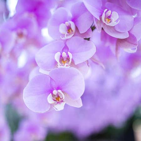 mauve: pink orchid
