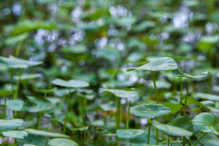 water pennywort or centella asiatica leaf