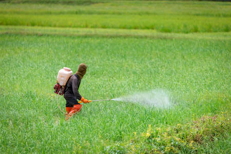 fungicide: farmer spraying insecticides in rice farm