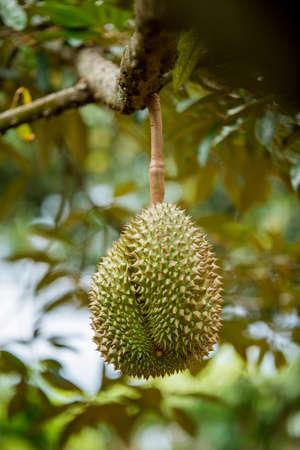 Fresh durian on tree in Thailand fruit farm Stock Photo