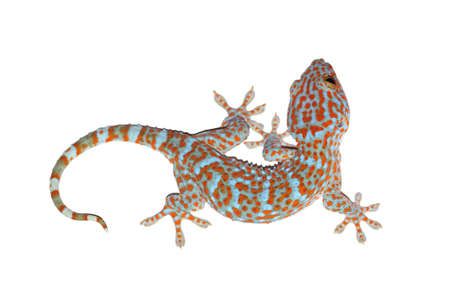 tokay gecko: gecko isolated on white with clipping path