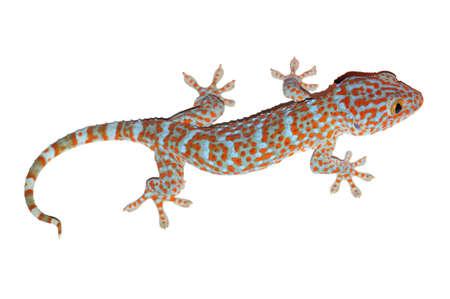 Gecko isolé sur blanc avec chemin de détourage Banque d'images - 87180968
