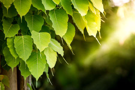 green bodhi leaves with sunset