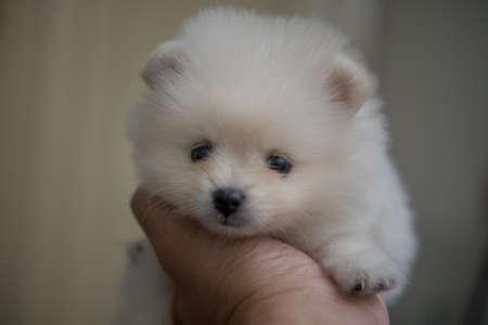 Pomeranian baby dog on my hand