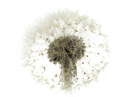 antrey: dandelion looks like a bride on white background