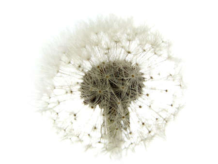 dandelion looks like a bride on white background