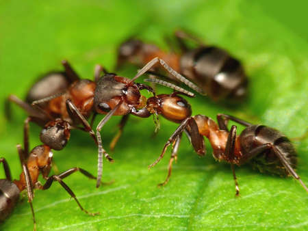 common greetings of forest ants photo