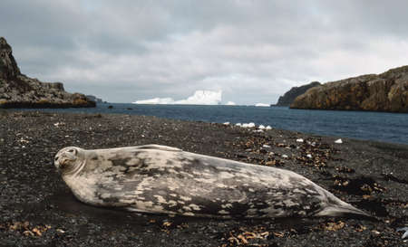 weddell: weddell  seal resting on antarctic beach