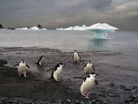 platoon of police (chinstrap) penguins