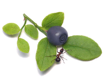antrey: forest ant adores blue bilberry Stock Photo
