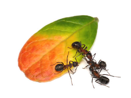 ant: fight outside the ring, forest ants and leaf of cowberry Stock Photo