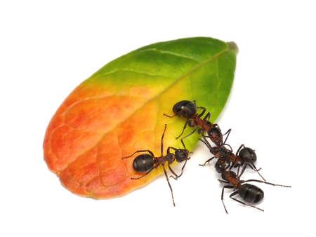 hormiga: lucha fuera de la pista, las hormigas y los bosques de hoja de cowberry