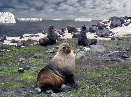 antrey:  of antarctic fur seals