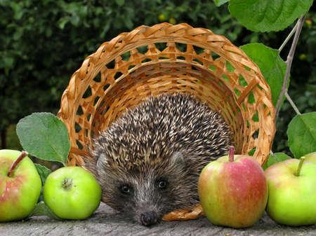 antrey: hedgehog with apple harvest