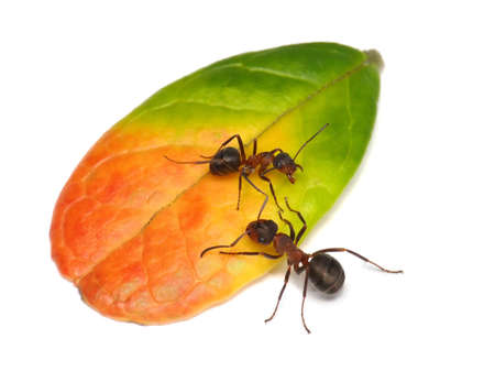 private property, ant guarding leaf of cowberry